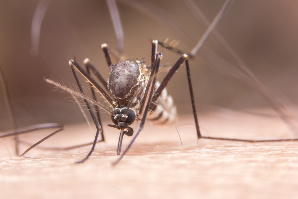 mosquito about to bite